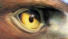 Golden Eagle-eye, Nick Day